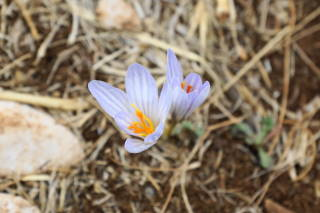 Wild Flower from Lebanon